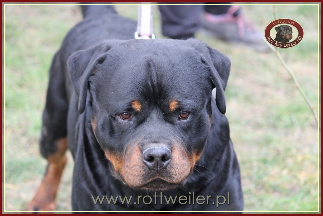 GRAAL Nice And Lovely FCI rottweiler reproduktor
