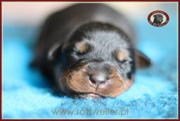 szczenie-rottweiler-1