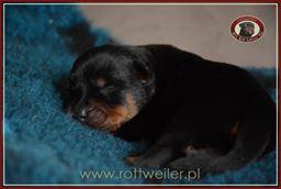 szczenie-rottweiler-2