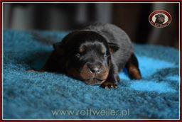 szczenie-rottweiler-3