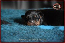 szczenie-rottweiler-4