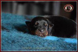 szczenie-rottweiler-5