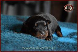 szczenie-rottweiler-6