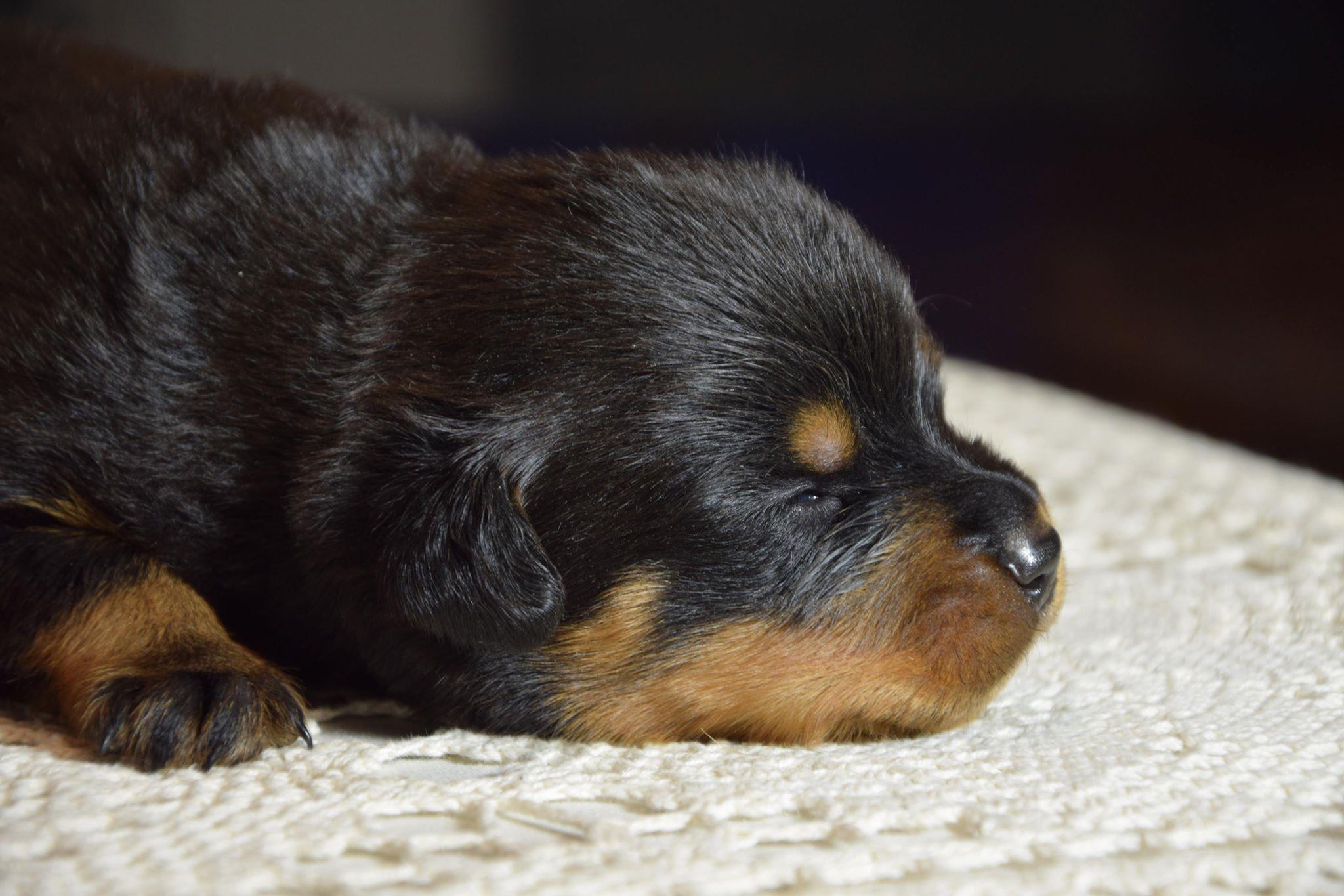 szczenię rottweiler