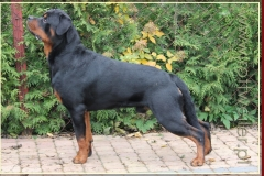 WAL DORF Nice And Lovely FCI rottweiler reproduktor